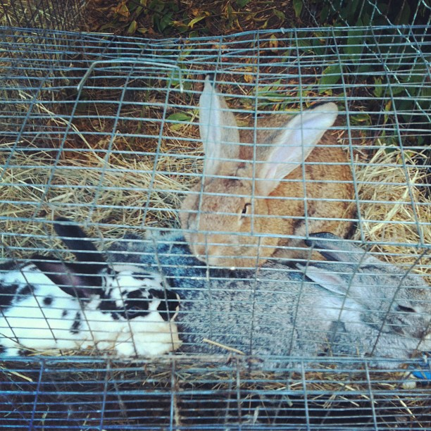 Farmer Meg's Digest | Raising Rabbits in the Colony-style