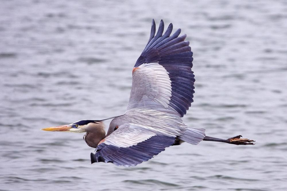 Great_Blue_Heron_in_flight